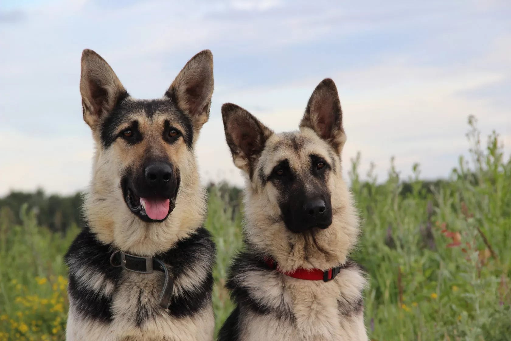 уход собаки  восточноевропейская овчарки