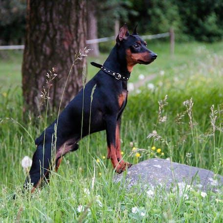 размер породы Цвергпинчер