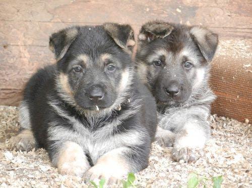 щенки собаки восточноевропейская овчарки