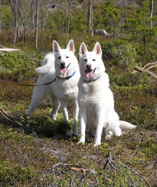 характер породы Шведский белый элкхунд