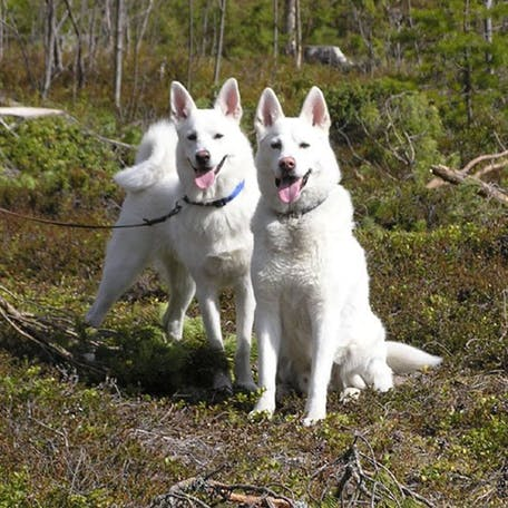 фото породы Шведский белый элкхунд