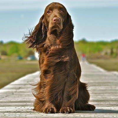 собака породы Филд-спаниель