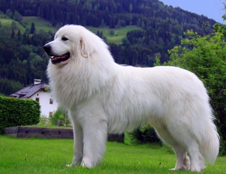 особенности породы Пиренейская горная собака