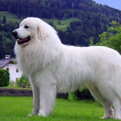 размер породы Пиренейская горная собака