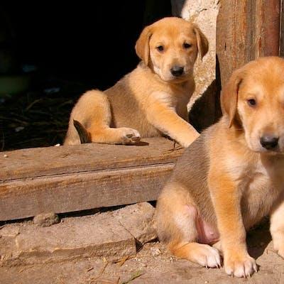 щенки собаки Русская гончая