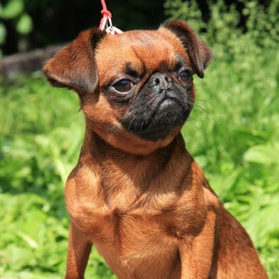собака Пти-брабансон