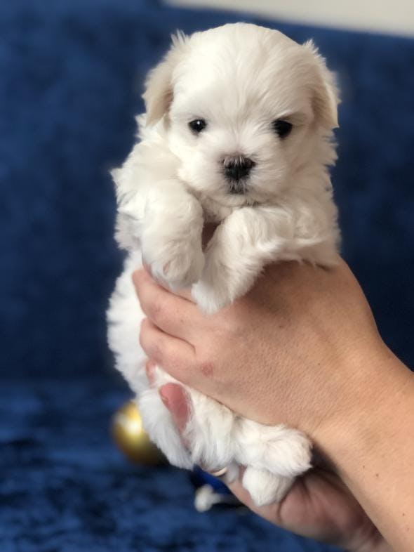 Щенки мальтезе: фото, клички, особенности и цены на собак, и как выбрать, чем кормить мальтийскую болонку, кто лучше – мальчик или девочка?