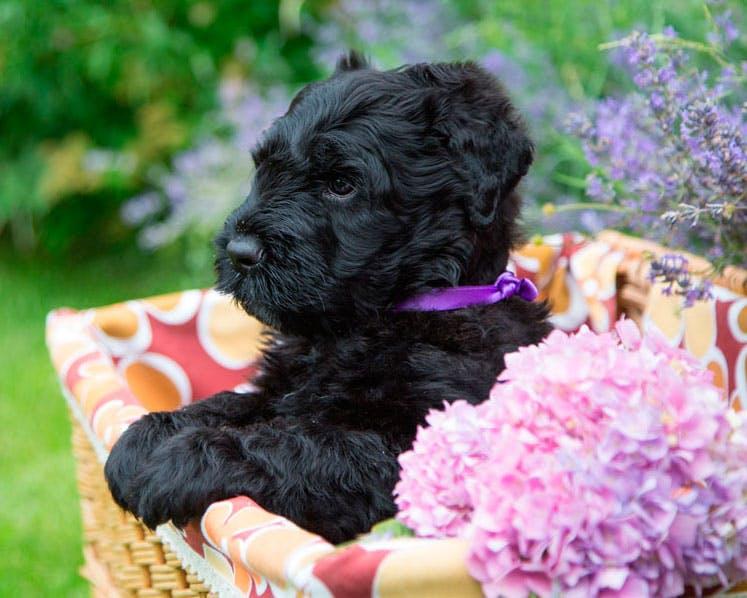 цена щенка породы Русский черный терьер