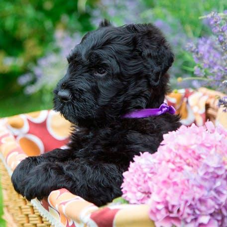 щенок породы Русский черный терьер