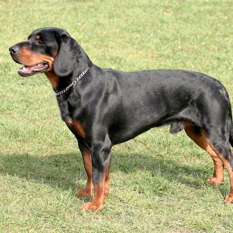 собака породы Словацкий копов