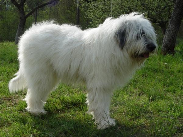 особенности породы Румынская миоритская овчарка
