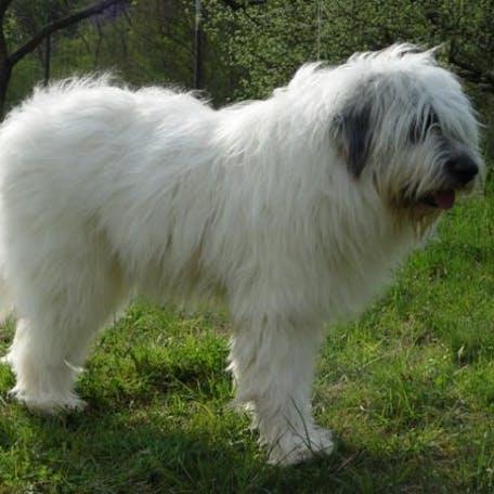 фото породы Румынская миоритская овчарка