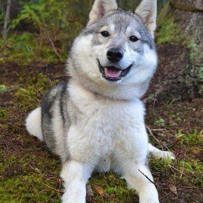 собака Западно-сибирская лайка