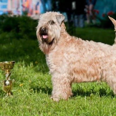 собака Ирландский мягкошёрстный пшеничный терьер