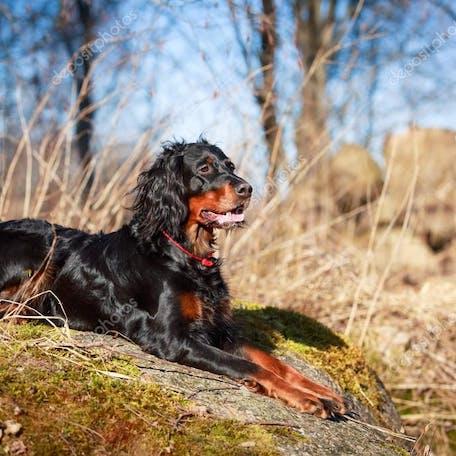 собака Шотландский сеттер