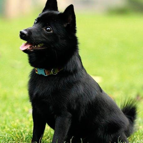 собака Шипперке