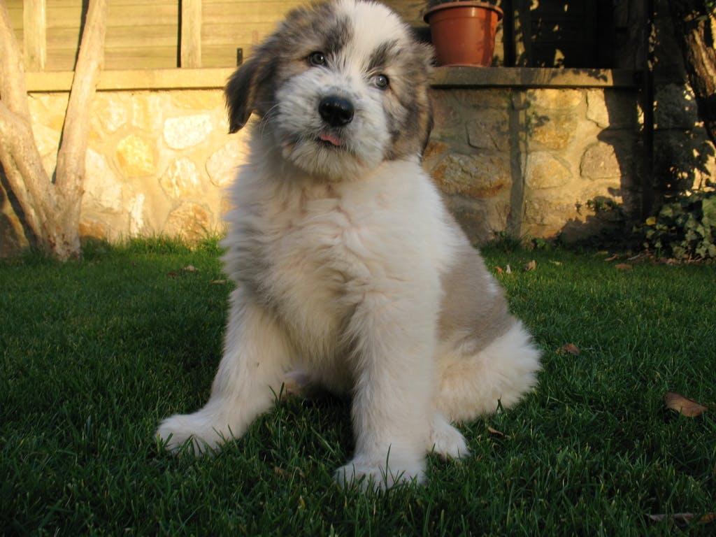 цена щенка румынской миоритской овчарки