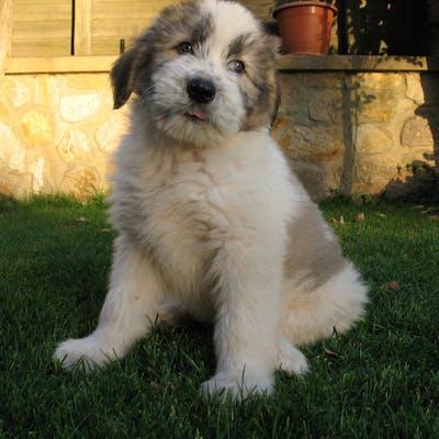 щенок породы Румынская миоритская овчарка