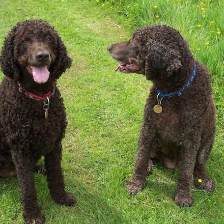 собаки породы Ирландский водяной спаниель