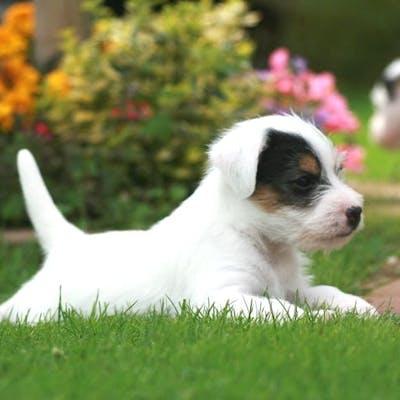 щенок породы Парсон-рассел-терьер