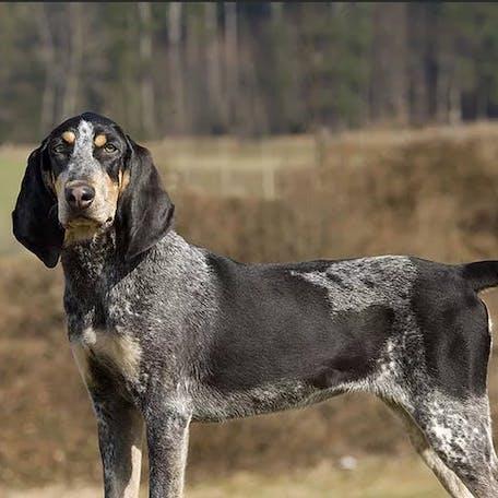 собака породы Швейцарская гончая