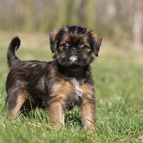 щенок породы Малая бельгийская собака