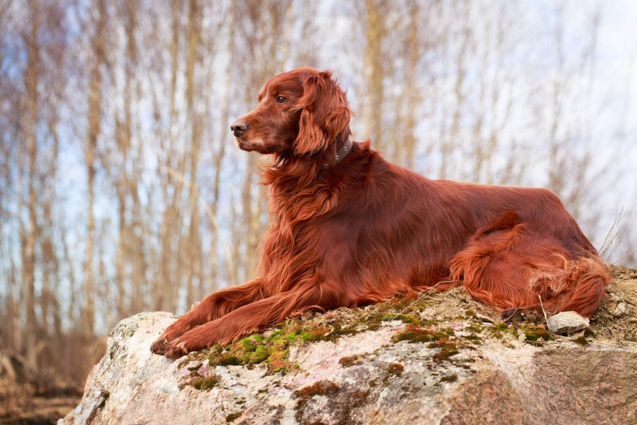 уход за собакой Ирландский сеттер
