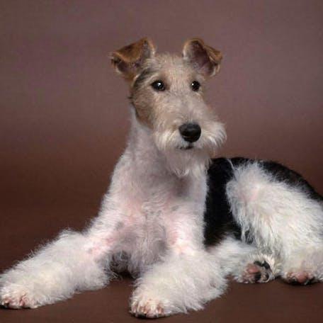 собака породы Жесткошёрстный фокстерьер