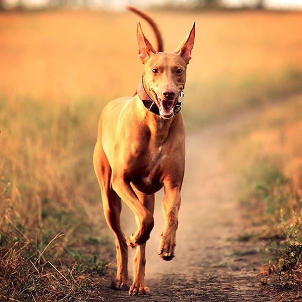 Фараоновая собака