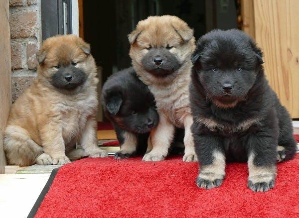 щенки собаки Евразиер
