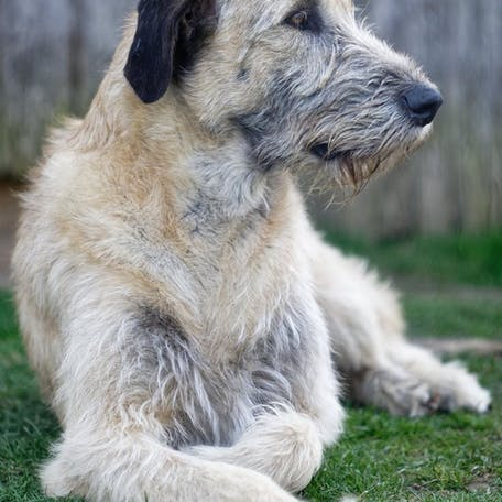 собака Ирландский волкодав