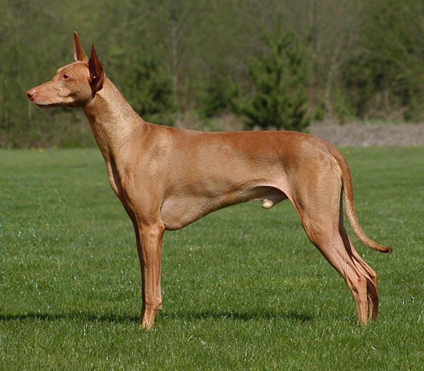 особенности породы фараоновая собака