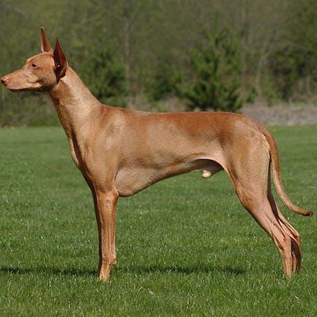 размер породы Фараоновая собака