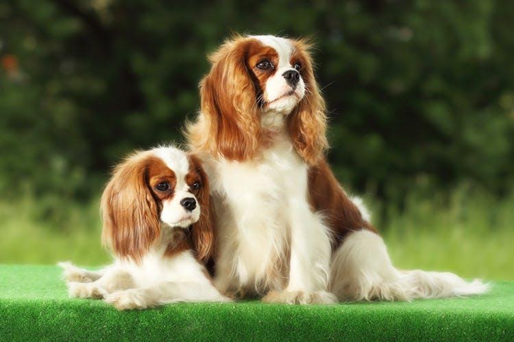уход за собакой Кавалер-кинг-чарльз-спаниель