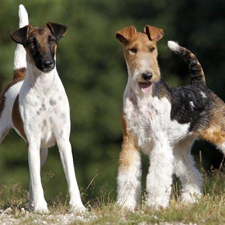 размер собаки Жесткошёрстный фокстерьер