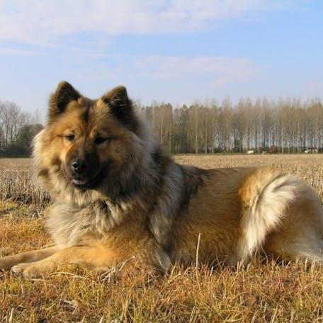 собака Евразиер