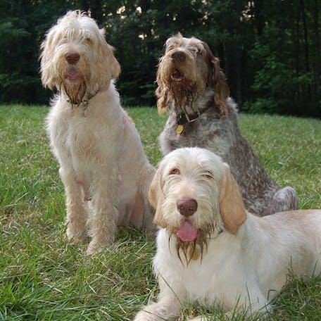 размер собаки Итальянский спиноне