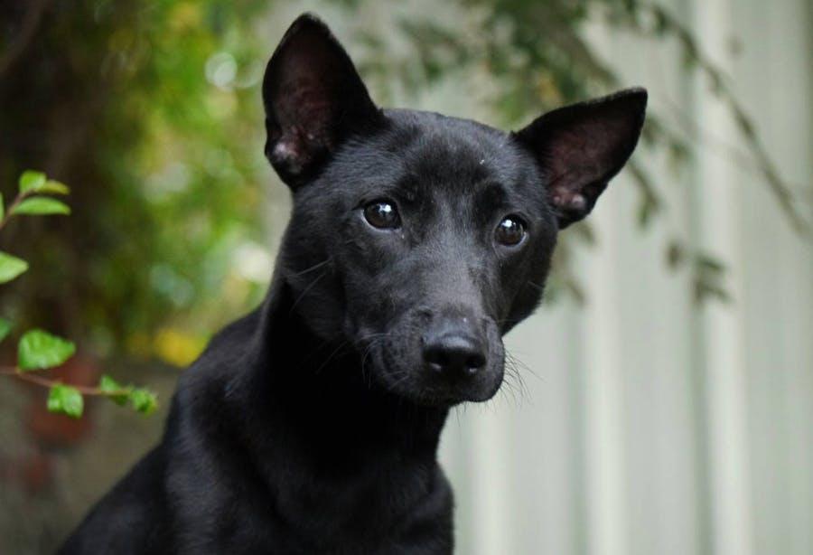 щенок породы тайванская собака