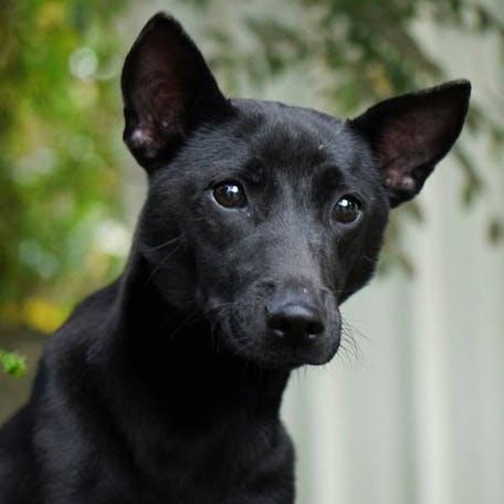 щенок породы Тайваньская собака