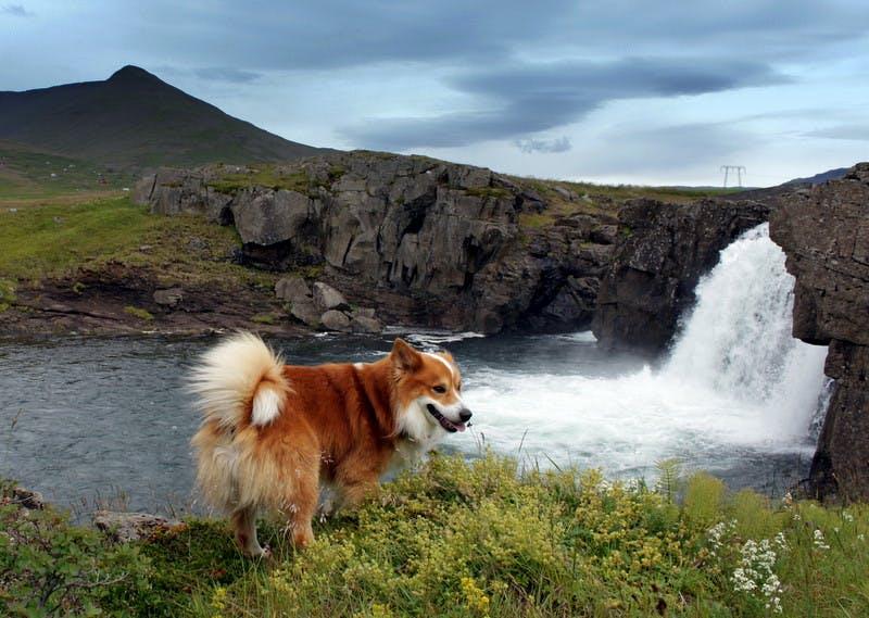 характер породы Исландская собака