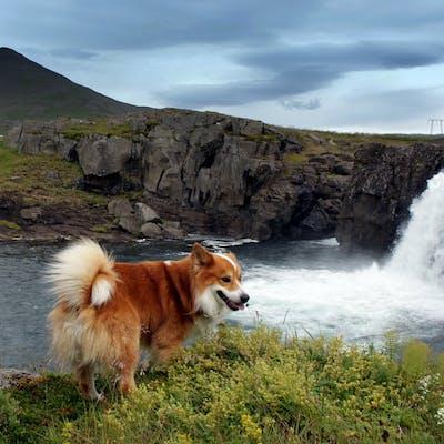 характеристики породы Исландская собака