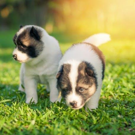 щенки собаки Тайский бангку