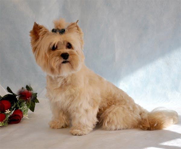 характер породы Русская салонная собака