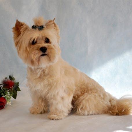 собака Русская салонная собака