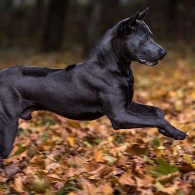 размер породы Тайваньская собака
