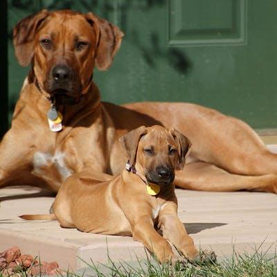 мама и щенок породы Родезийский риджбек