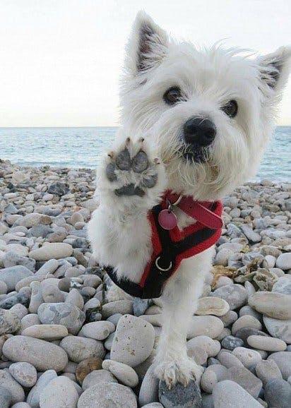 уход за собакой породы вест-хайленд-уайт-терьер