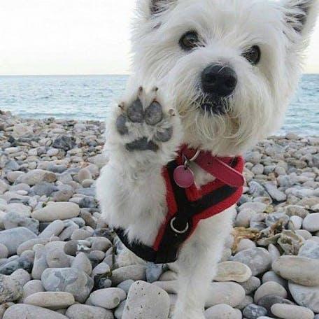 собака вест-хайленд-уайт-терьер