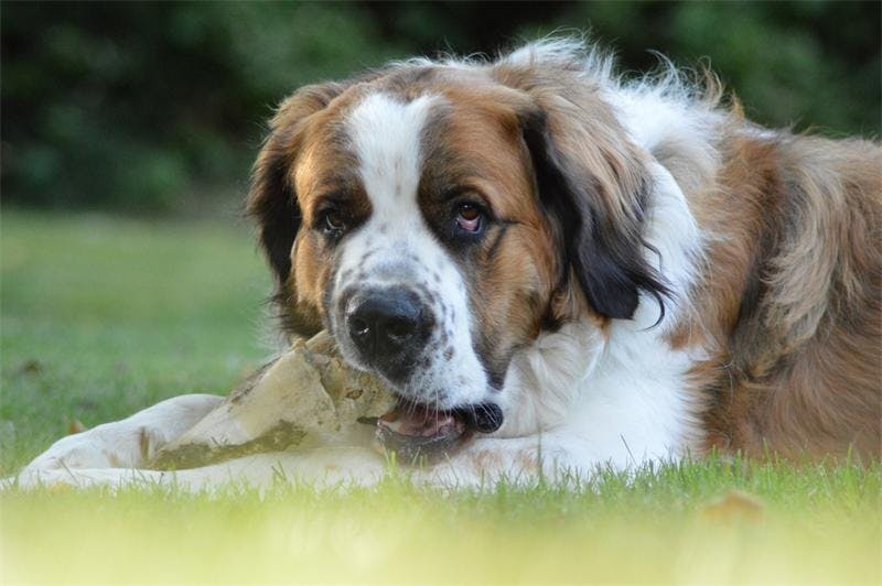 характер породы Московская сторожевая собака