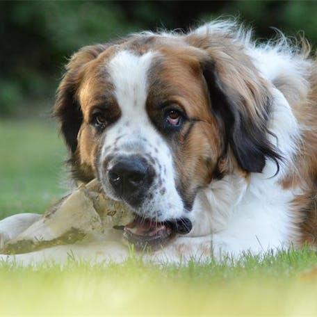 фото Московской сторожевой собаки